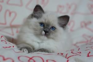 27 dec 2014. Obs! Nu har alla kattungar flyttat. Nya kattungar kommer snart  ... Lille Vegas stannar hos mig ) 11a74dafed964